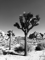 (lili_kanio) Tags: tree joshua deserthotsprings desert bnw usa californie california joshuatree