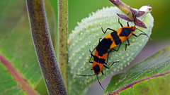 Large Milkweed Bug (Oncopeltus fasciatus), Miller Creek - Duluth MN USA, 08/10/16 (TonyM1956) Tags: elements largemilkweedbug oncopeltusfasciatus millercreek duluth macrounlimited sonyalphadslr sonyphotographing tonymitchell