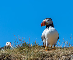 Seeing double (sarahOphoto) Tags: national trust farne islands staple island northumberland puffin nature wildlife birds colourful sitting posing rocks canon 6d billy shiels boat trip ornithology seabirds