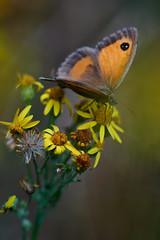 The Gatekeeper (viking__77) Tags: 105mmf28micronikkor 2018 a7iii barrowhills gatekeeper july nikon105mmafdmicronikkor nikonafmicronikkor105mmf28d nottinghamshire pyroniatithonus sony sonya7iii summer butterfly female macro wood woodland