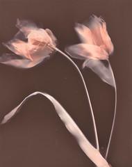 Tulip lumen print (julesnene) Tags: agfamcpremiummcp310rc california flower juliasumangil plant sunprint alternativephotography art backyard botanical flora flowers julesnene lumen lumenart lumenprint paintedbythesun photogram tulip tulips