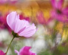 Cosmos (agnieszka.a.morawska) Tags: dof macro nikon helios helios44m bkhq beyondbokeh bokeh bokehlicious garden summer lato flower kwiat kosmos cosmos