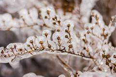 An unusual sighting (modestmoze) Tags: outside icicle ice spring winter chicago illinois outdoors 2018 500px cold weather lines brown flower plant march sunny day light white icy beautiful sighting unusual interesting view pretty focus bokeh nature naturelove