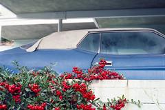 Blue Mustang (ADMurr) Tags: la hollywood hills mustang blue red berries mid century carport cinder block walls leica m6 kodak ektar 50mm summicron film daa234