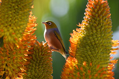 Waxeye (bevanwalker) Tags: aloe thraskii d750 nikon 300mmf28 lens nectar food hunger warm cold winter photography sun light closeup lateralis zosterope cute fruit small nature bush