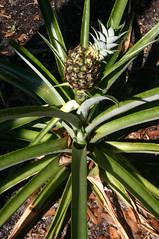 I tried to grow Pineapples in Pinellas County, Florida (gg1electrice60) Tags: pineapple crooked midget garden gardening fruitsvegetables fruitsandvegetables food fruit pinellascounty florida fl unitedstates usa us america canoneosdigitalrebel canondigitalrebel plants