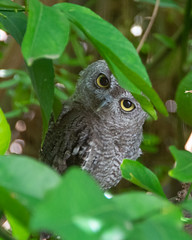 Western Screech Owlet (dan.weisz) Tags: owl westernscreechowl raptor owlet tucson bird birdofprey