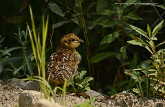 Spruce Grouse (Falcipennis canadensis) (Photography Through Tania's Eyes) Tags: grouse bird animal wildlife wings feather bill juvenile babies mama photographythroughtaniaseyes taniasimpson sprucegrouse falcipenniscanadensis britishcolumbia canada