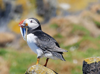 Puffin on the Isle of May