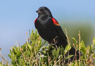 Red-winged Blackbird Male (Agelaius phoeniceus)