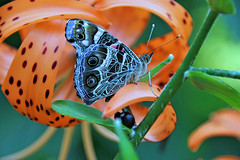 Painted Lady On Tiger Lily (marylee.agnew) Tags: colors summer butterfly flower bright painted lady tiger lily outdoor magic psychedelic