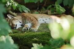 so Tired (Hugo von Schreck) Tags: hugovonschreck luchs lynx animal fantasticnature canoneos5dsr tamronsp150600mmf563divcusda011 cat katze