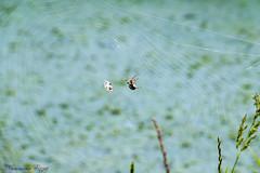 Araignée (Ezzo33) Tags: france gironde nouvelleaquitaine bordeaux ezzo33 nammour ezzat sony rx10m3 parc jardin insecte insectes specanimal araignée