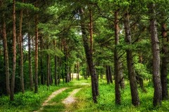 The Path through the Pine Trees (Claudia G. Kukulka) Tags: path way street pfad weg strase pine kiefer pinetrees kiefern woods forest wald plateau