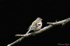 Pinson des arbres (Fringilla coelebs) 1 (Ezzo33) Tags: france gironde nouvelleaquitaine bordeaux ezzo33 nammour ezzat sony rx10m3 parc jardin oiseau oiseaux bird birds pinson des arbres fringilla coelebs