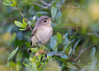 Warbling Vireo (PeterBrannon) Tags: bird florida fortdesoto migrant nature rarity songbird vireogilvus warblingvireo wildlife