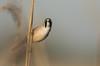 El gringo (Eric Penet) Tags: oiseau animal sauvage baie somme france wildlife wild faune nature picardie avril printemps panure moustaches mâle bearded reedling passereau