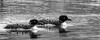 A couple (Donna Brittain - See what I see) Tags: commonloons spring blackandwhite migrating eyes pair water birds feathers bw monochrome swimming nature