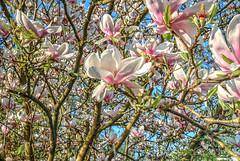 Magnolia blossoms (HDRforEver) Tags: hdr magnolien magnolia blossoms garden germany owl karsten höltkemeier canon photomatix eos 5d mark3 markiii ostwestfalen new interesting