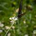 Black Swallowtail at BBSP