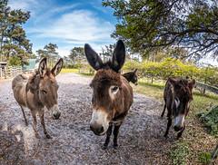P1200319.jpg (Steve1949) Tags: donkeys animals harkersisland
