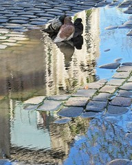 Spa (carlos_ar2000) Tags: charco puddle paloma dove pigeon ave pajaro bird naturaleza nature animal reflejo reflection reflected calle street distorsion distortion cobbled buenosaires argentina barracas
