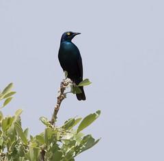 _DSC2544-editCC (Dave Krueper) Tags: africa southafrica birds birding bird starling