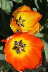 Sherwood Gardens ~ Tulip detail (karma (Karen)) Tags: baltimore maryland sherwoodgardens parks gardens flowers tulips macros texture htt cmwd topf25