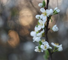 Cherry tree and sunset. (agnieszka.a.morawska) Tags: macro april flower flowers cherryblossoms spring bokeh bkhq bokehlicious beyondbokeh helios44m helios