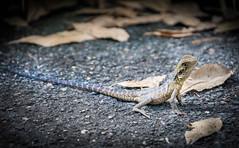 Lizard (Scottmh) Tags: 2018 botanical royal sydney australia autumn d7100 gardens leaf lizard new nikon south wales