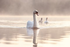 Swan Morning Calm Beautiful Tranquil (seegarysphotos) Tags: seegarysphotos garylewis manchester daisynook swans ducks mist fog morning sunrise lake water outdoors tranquil calm beauty reflection ripple joy adventure glow cosy