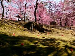 P1020190 (Mickey Huang) Tags: panasonic gx7 mk2 gx80 gx85 leica dg summilux 25mm f14 m43 mft kyoto japan 京都 日本 jonangu 城南宮 plum blossom 梅花 flowers travel 旅行