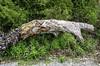 Monster's rest (Tony Tomlin) Tags: crescentbeachbc britishcolumbia canada southsurrey driftwood logs pebbles
