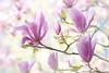 Spring magnolia (Jacky Parker Flower Photography) Tags: spring2018 springtime magnolia springflowers springgarden closeup horizontalformat beautyinnature freshness newgrowth newseason brightlylit springcolour flowerconcepts outdoors nopeople highkey