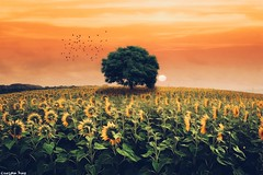 Despite (gusdiaz) Tags: photoshop photomanipulation digital art sunflowers nature sunset sunrise atardecer amanecer beautiful colorful tree trees field summer verano campo relaxing birds girasol girasoles aves sky clouds cielo nubes hdr topaz