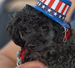 Petite Patriot (Scott 97006) Tags: dog small cute canine animal pet petite