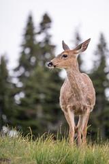 Washington Vacation - Day 2 (93 of 97) (Quentin Biles) Tags: 15028 d850 ex hurricaneridge macro nikon os olympicnationalpark sigma washington deer