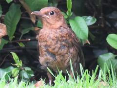 Blackbird (Juv.) (marksargeant57) Tags: bush juvenilebird canonpowershotsx60hs gardenbird gardenwildlife blackbird