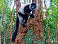 Black and White Ruffed Lemur (Varecia variegata) (Travel to Eat) Tags: tree blackandwhite jungle africa madagascar wildlife wild primate lemur