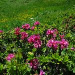 Alpenrosen am Wilerhorn thumbnail