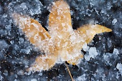First Snow (Emily Miller fine art) Tags: slush snow frost maple leaf winter