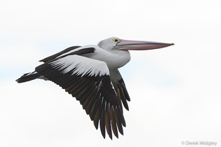 Australian pelican : Flying is easy