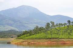 319A2271W Western Ghats, Kerala, India (Priscilla van Andel) Tags: westernghats kerala india tea teaplantation ricefield indiantea mountainsofthewesternghats natureofindia munnar