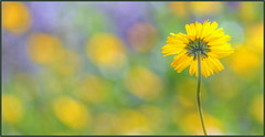 Get Some Sun (tdlucas5000) Tags: flowers wildflowers backlit macro closeup bokeh creamybokeh d750 sigma120400 yellowflowers