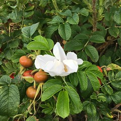 Blossom &  berries (What I saw...) Tags: rosehip dog rose berry blossom flower berries