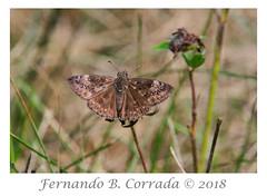 Juvenal's Duskywing (4032) (fbc57) Tags: juvenalsduskywing erynnisjuvenalis lepidoptera butterflies skippers spreadwingedskippers pyrginae cochranroad richmond vermont nikond850 nikon300f4pfvrtc14x