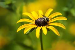 "Fly On A Black Eyed Susan (Modkuse) Tags: ""blackeyedsusan"" macro macrophotography macroflower macroinsects macrolens flower flowers nikon nikondslr nikond700 105mmf28nikkormacro 105mm nikon105mmf28macronikkor blackeyedsusan"