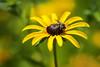Fly On A Black Eyed Susan (Modkuse) Tags: macro macrophotography macroflower macroinsects macrolens flower flowers nikon nikondslr nikond700 105mmf28nikkormacro 105mm nikon105mmf28macronikkor blackeyedsusan