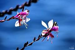 Gaura de Lindheimer (Diegojack) Tags: morges vaud suisse d7200 nikon nikonpassion fleurs finesse gaura blanc eau lac bokeh