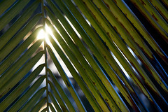 Sunrise shining trough palm leaves (BryonLippincott) Tags: thailand bay thai beach seaside resort rural town village tourism tourist road bicycle bluehour morning early trees peaceful quiet empty deserted ocean waves sunrise goldenhour backlight palmtree palmleaves leaves